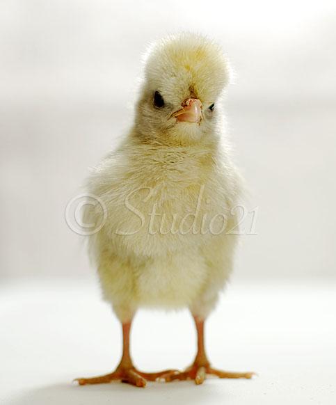 White polish chicken - photo#10